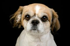 Pekinese dog Stock Image