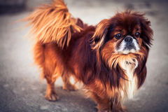 Pekinese dog. A beautiful dog goes for a walk outside Royalty Free Stock Photos