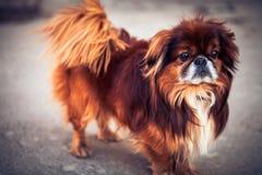 Pekinese dog Royalty Free Stock Photos