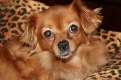 Pekinese dog close up Royalty Free Stock Images