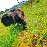 Pekinese. Dog close up in a park in spring Royalty Free Stock Photos