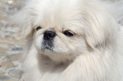 Pekinese dog Royalty Free Stock Images