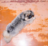 Pekinese dog. Pekinese dog on a orange background royalty free stock images