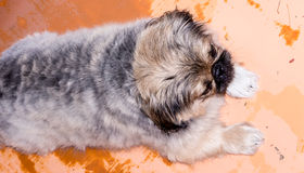 Pekinese dog. Pekinese dog on a orange background royalty free stock photos