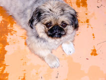 Pekinese dog. Pekinese dog on a orange background royalty free stock photo