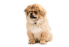 Pekinese dog portrait Stock Photo
