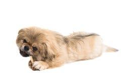 Pekinese dog portrait Stock Image
