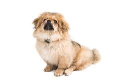 Pekinese dog portrait Royalty Free Stock Photo
