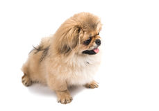 Pekinese dog portrait Stock Images