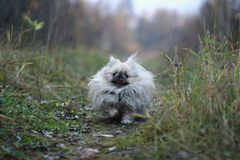 Pekinese Royalty Free Stock Photo