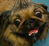 Pekinese dog. Stock Photography