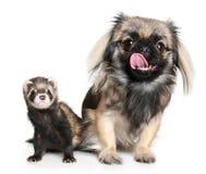 pekinese ferret Стоковое Фото