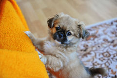Pekinese-Löwe-Hund, Pelchie-Hund, Pekinese ist eine alte Zucht des Spielzeugs Lizenzfreies Stockbild