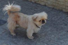 Pekinese psa mali szarzy stojaki na chodniczku w ulicie zdjęcia royalty free