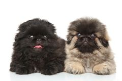 Pekinese puppies posing in studio Stock Images