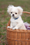 Pekinese puppy Stock Image
