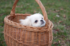 Pekinese puppy Stock Photos
