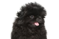 Pekinese puppy Royalty Free Stock Image