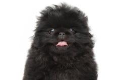 Pekinese puppy close-up portrait Stock Photography