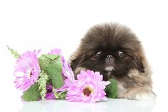 Pekinese puppy in flower Stock Images