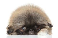 Pekinese puppy Royalty Free Stock Photo
