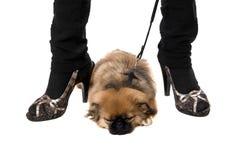 Pekinese puppy sleepin Stock Photo