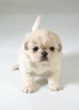 Pekinese walking. Six weeks old pure breed Pekinese puppy royalty free stock photo