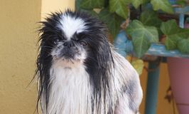 Pekinese wet stock photography