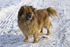 Pekinesehund im Schnee, der den Rahmen betrachtet Lizenzfreie Stockfotos