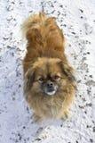 Pekinesehund im Schnee, der den Rahmen betrachtet Stockfoto
