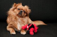 Pekinesehund mit seinem Spielzeug Stockfotografie