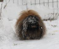 Pekinesman på snö under vinter fotografering för bildbyråer