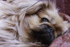 Pekinesnärbild En ledsen hund med en ledsen blick Royaltyfri Fotografi