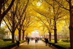 PEKING, CHINA - 10. NOVEMBER 2016: Touristen genießen die schöne Ansicht von gelben Gingkoblättern vor dem Yonghe-Tempel Stockfotografie