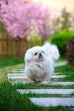 Peking dog Stock Images