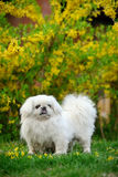 Peking dog Royalty Free Stock Photos