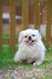 Peking dog Stock Photos