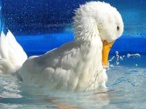 Peking Duck Swimming Stockfotos