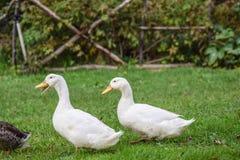 Peking Ducks Royalty Free Stock Photo