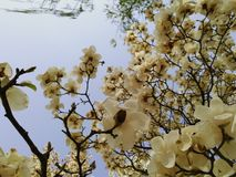 Peking-Frühlings-Magnolie lizenzfreies stockfoto