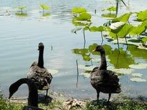 Peking parkerar den svarta svanen Arkivbilder