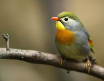 Peking robin Stock Photos