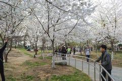 Peking Yu Yuan Tan Park Cherry Blossom Festival 2 Stock Afbeelding
