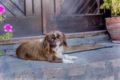 Pekingese宠物褐色 免版税库存照片