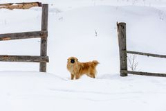 Pekingese是在多雪的雪的一个可爱的逗人喜爱的狗身分在篱芭附近 免版税图库摄影