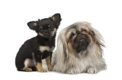 pekingese的奇瓦瓦狗 免版税库存图片