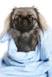 pekingese的狗 免版税库存照片
