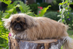 pekingese的狗 库存照片