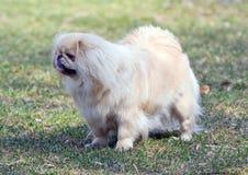 pekingese的狗 库存图片