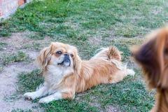 Pekingese纯血统的动物狗 图库摄影